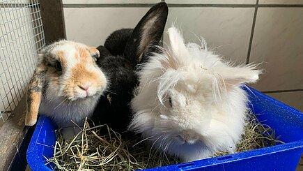 Kaninchen Nea
