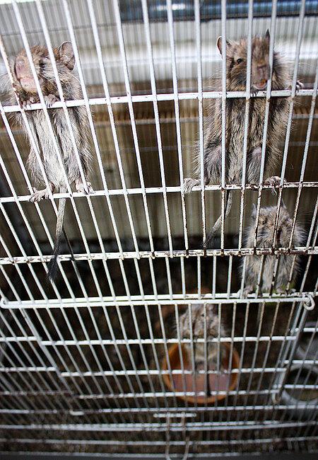 Mehrere Jungtiere klettern an den Käfigwänden hoch