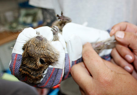 Degu bei der Untersuchung im aktion tier Tierheim