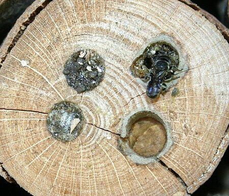 Wildbienen benutzen artspezifische Materialien zum Verschließen ihrer Brutröhren