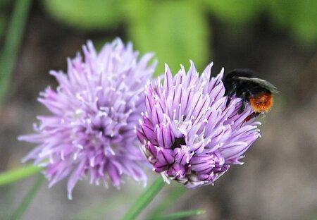 Wildbienen (hier eine Steinhummel) fliegen auf die Blüten von Lauchgewächsen.