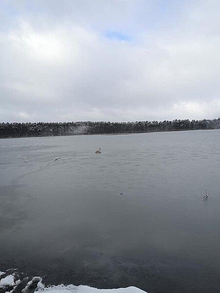 Jungschwan im Zescher See