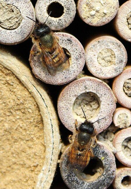 Rostrote Mauerbienen beim Brutgeschäft